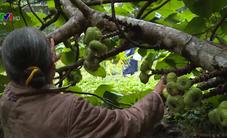 Quả vả: Loại quả tự nhiên đem lại cuộc sống ổn định cho người dân TT-Huế