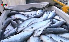 Cá hồi chết hàng loạt tại Na Uy