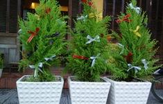Tùng thơm Noel - Mặt hàng hot mùa Giáng sinh
