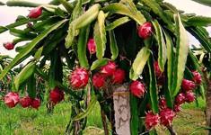 Bỏ thanh long trắng, trồng thanh long trồng đỏ: Trồng theo xu thế, mù mờ đầu ra