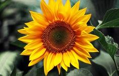 9 loại hoa tốt cho sức khỏe nên dành tặng phụ nữ ngày 20/10