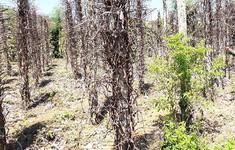 Gia Lai hơn 1.000 ha hồ tiêu chết sau đợt mưa kéo dài