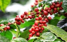 Thành công trong việc biến chất thải cà phê công nghiệp thành điện