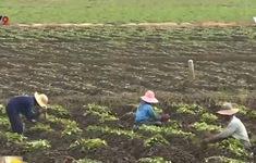 Vĩnh Long: Khoai lang rớt giá, nông dân vẫn ồ ạt xuống giống