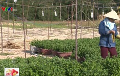 Vụ hoa Tết  tại các tỉnh Nam Trung Bộ: Chi phí tăng cao bất thường
