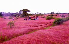 """Gia Lai sẽ tổ chức """"Lễ hội cỏ hồng"""" lần thứ 2"""