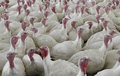 Mỹ thu hồi 41 tấn gà tây nhiễm khuẩn Samonella trước lễ Tạ ơn