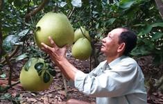 Nông dân Tiền Giang tích cực chuẩn bị bưởi Tết
