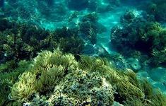 Hồi sinh nhiều giống san hô ở Khánh Hòa