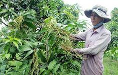 Khánh Hòa: Xoài Cam Lâm mất mùa, nông dân điêu đứng