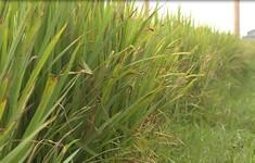 Quảng Bình: Hơn 3000 ha lúa Đông Xuân nhiễm bệnh vàng lá