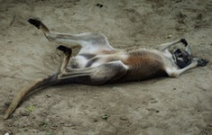 Trung Quốc: Khách du lịch ném gạch đá khiến một con kangaroo thiệt mạng