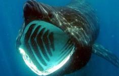 Hàng trăm con cá nhám khổng lồ tập trung thành các bầy bí ẩn