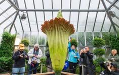 Hàng nghìn người chờ xem bông hoa khổng lồ 10 năm nở 1 lần