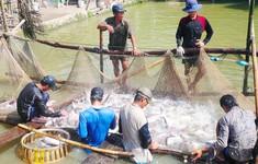 ĐBSCL: Giá cá tra tăng cao, người dân ồ ạt đào ao nuôi