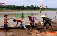 Hơn 20 tấn cá chết trắng tại đập Bình Hà 1, Bình Phước
