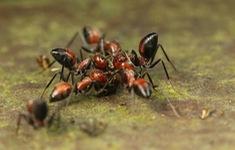 Phát hiện kiến cực độc, có thể tự nổ tung