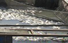 Gần 35 tấn cá lồng bè tại Kiên Giang chết chưa rõ nguyên nhân