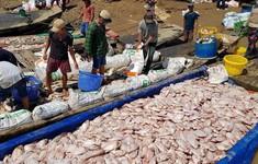 Giá vớt xác cá chết ở sông La Ngà tăng cao