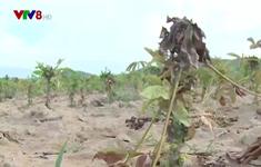 Rệp sáp bột hồng, nhện đỏ bùng phát mạnh ở vùng trồng sắn Phú Yên