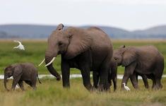 Công nghệ... đo độ rung để bảo vệ voi