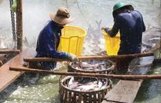 Giá cá tra nguyên liệu tại Cần Thơ giảm mạnh do nguồn cung dồi dào