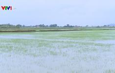 Nhiều diện tích lúa tại Thanh Hóa, Thái Bình bị ngập úng do mưa lớn