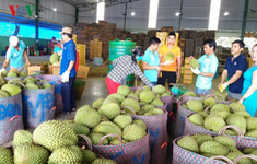 Xuất khẩu sầu riêng chính ngạch: Cần chuyên môn hóa các diện tích trồng sẵn có