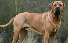 Những loại chó nào nuôi trong nhà có thể gây nguy hiểm?