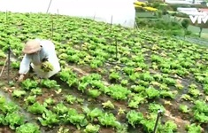 Lâm Đồng: Sản lượng rau, củ giảm do thời tiết