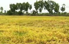 Hàng trăm ha lúa bị ngập úng do mưa lớn ở ĐBSCL