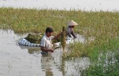 Hàng nghìn ha lúa có nguy cơ bị ảnh hưởng bởi lũ