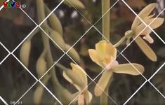 Vẻ đẹp loài hoa lan kiếm