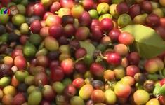 Giá cà phê trong nước thấp kỷ lục
