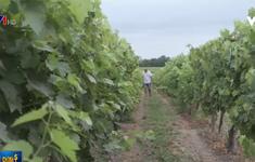 Người trồng nho Pháp với nỗi lo thất thu do thời tiết khắc nghiệt