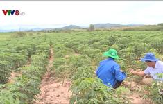 Nông dân Phú Yên lo lắng vì sắn nhiễm bệnh