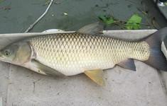 Hậu quả khôn lường khi tự sử dụng mật cá trắm làm thuốc chữa bệnh