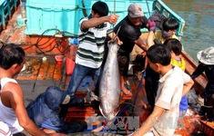 Cá ngừ được mùa, hàng nghìn ngư dân Nam Trung bộ ăn Tết trên biển