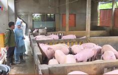 Tái đàn an toàn để bình ổn giá thịt lợn