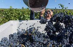 Biến đổi khí hậu đe dọa ngành rượu vang Áo