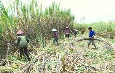 Hậu Giang khan hiếm nhân công thu hoạch mía