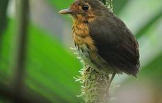 Phát hiện một loài chim mới tại Colombia