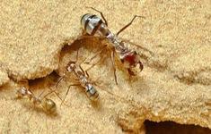 Phát hiện loài kiến có tốc độ di chuyển nhanh nhất thế giới