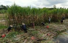 Người trồng mía Hậu Giang tìm cách giảm chi phí