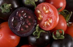 Phát triển giống cà chua tím giàu anthocyanin