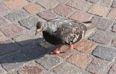 Móng của bồ câu tại thành thị bị biến dạng do ô nhiễm