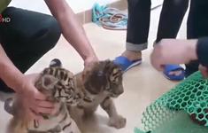 Hà Tĩnh: Truy tìm đối tượng vận chuyển 2 cá thể Hổ