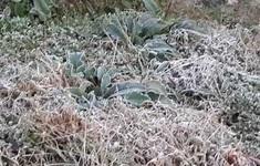 Hơn 1.000 ha cây trồng ở Sơn La bị thiệt hại do sương muối