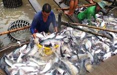 ĐBSCL tăng diện tích nuôi cá tra theo hướng GAP