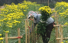Người trồng đào, quất, hoa tất bật vào vụ Tết